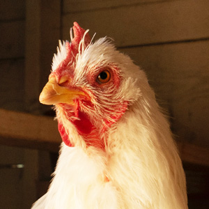 Poultry feed, Nieuwland Feed, About Us, About