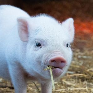 swine feed, Nieuwland Feed, About Us, About